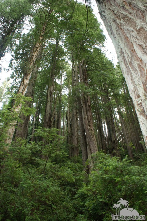 Redwood National Forest Northern California Trees