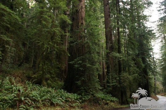 Redwood National Forest Trees